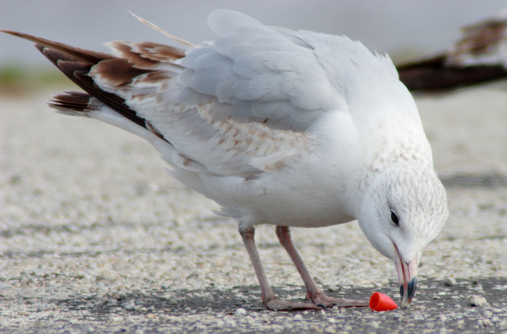 Toxins From Plastic Pollution Impacting Health Of Seabirds