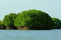 Mangroves excel at storing climate-warming carbon