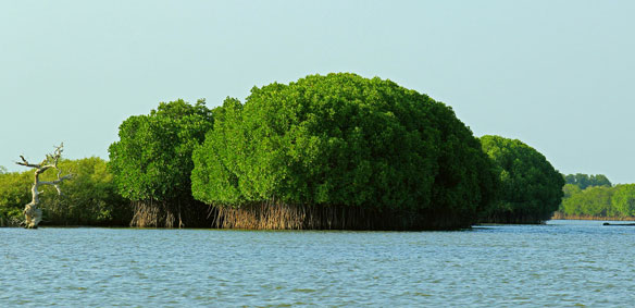picharam-mangrove-forest