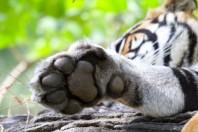 sundarbans-tiger