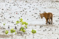Shipping and Industry Threaten Famed Home of the Bengal Tiger
