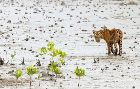 tiger-mangrove