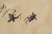 Saving Mexico's endangered sea turtles will be good for tourism too
