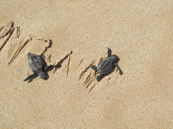 'It's warm water now': climate change strands sea turtles on Cape Cod shores