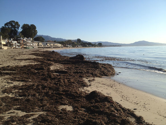 Environmental controls of giant kelp in the Santa Barbara Channel, California