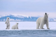 We know they aren't feeding': fears for polar bears over shrinking Arctic ice