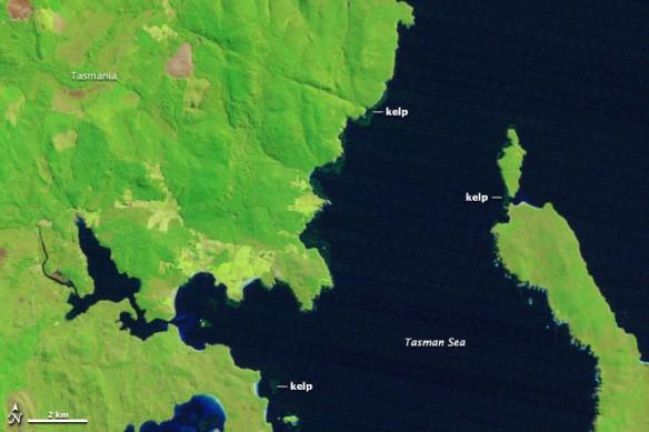 tasmania-kelp-1