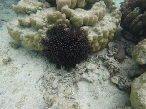 coral-eating-starfish