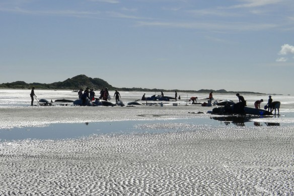 pilot-whale-nz-beached-2