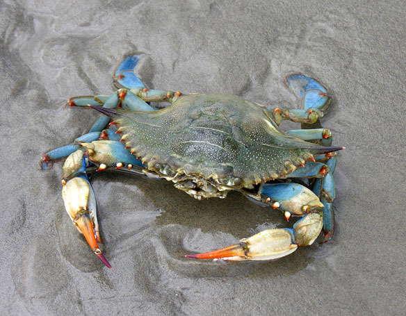 Is the Blue Crab's Natural Range Creeping North?