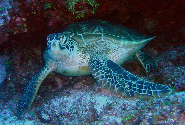 Successful Conservation Efforts along Florida, Pacific Coasts Recognized in Revised ESA Listing of Green Sea Turtle