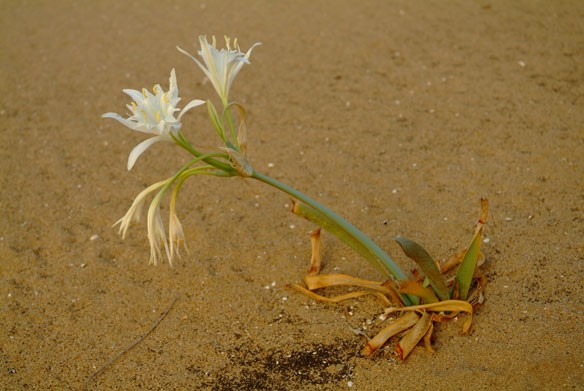 sand-flower-coastalcare