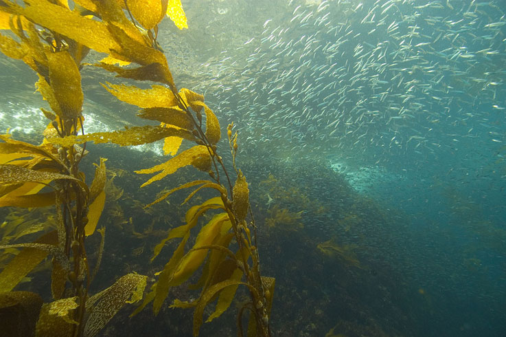 A Little Fish with Big Impact  In Trouble on U.S. West Coast
