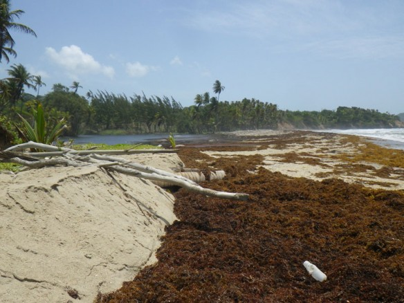 Fig.-9-scarped-upper-beach-and-sargassum