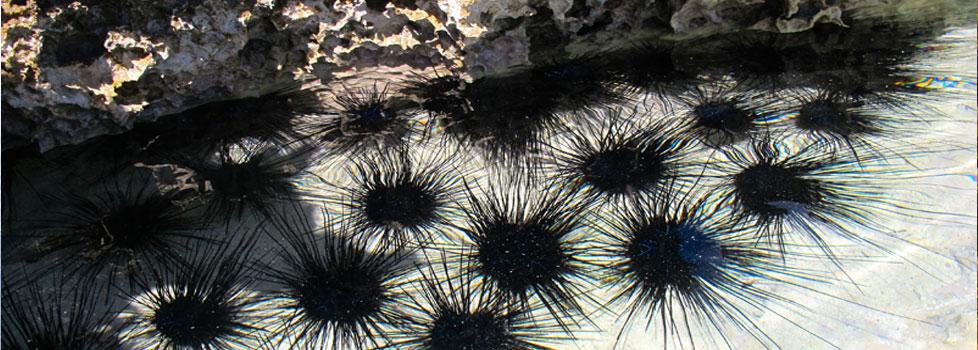 om-gal-urchin