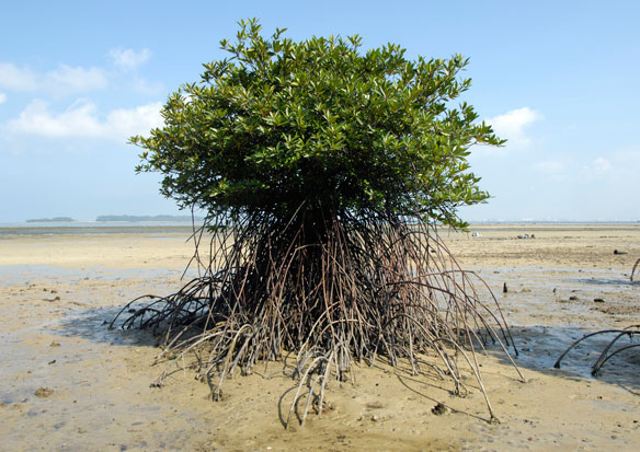 Mangrove loss has fallen dramatically, but the forests are still in danger