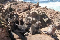 Recovering Fur Seal Population Threatened by El Nino