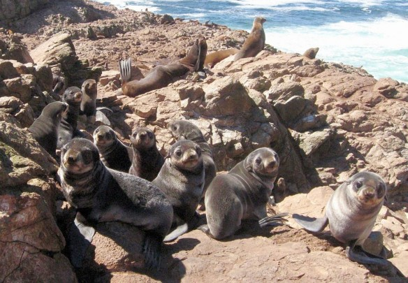 Fur-seals-farallon-islands