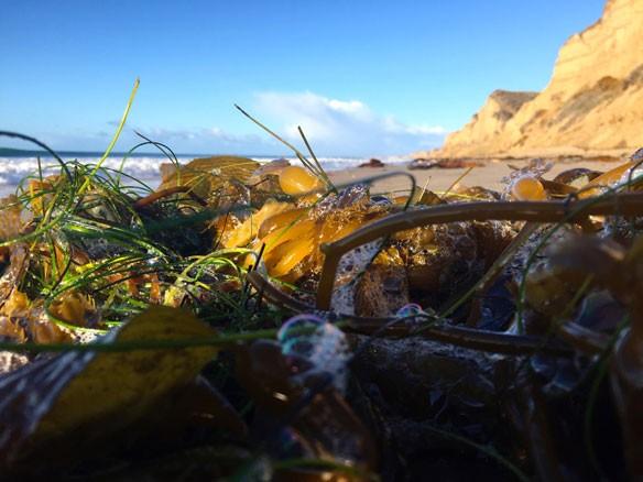 algae-california-coastal-care