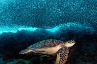 Turtles' age determined by atomic-bomb fallout in their shells