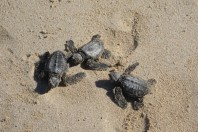 Gulf beaches deemed safe for sea turtle hatchlings