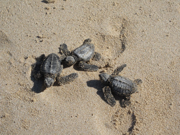 Endangered Green Sea Turtles Return to Florida in Record Numbers