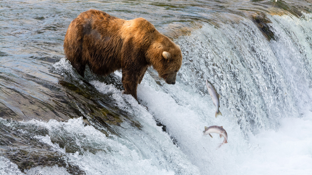 Farmed salmon are different at DNA level than wild salmon in hundreds of ways