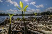 mangrove-cancun