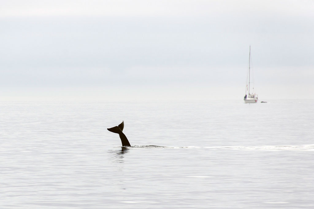 Ship noise in coastal habitats could interfere with orca's communication