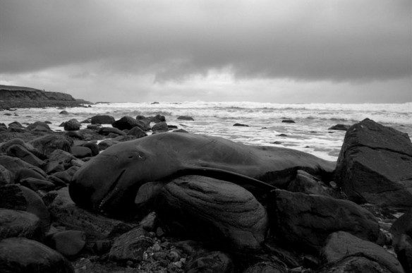 pilot-whale-beached
