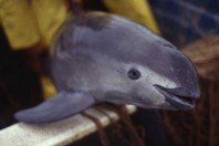 Violent battle playing out to save the last 22 vaquitas, the world's most endangered porpoise