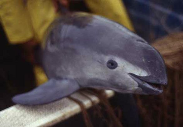 Help Save the Vaquita; By NRDC