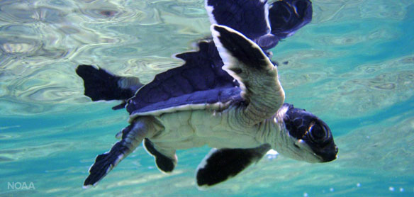Conservation efforts for Florida, Pacific coast green sea turtles working, agencies say