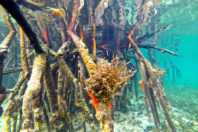 Haiti : Transplantation of 85,000 mangrove seedlings