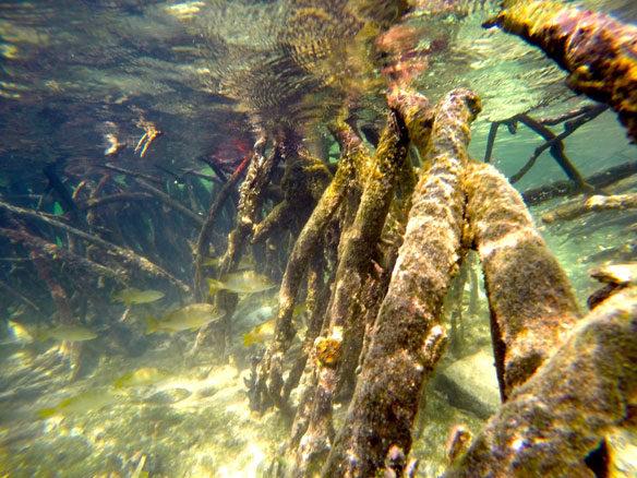 mangrove-roots-coastalcare