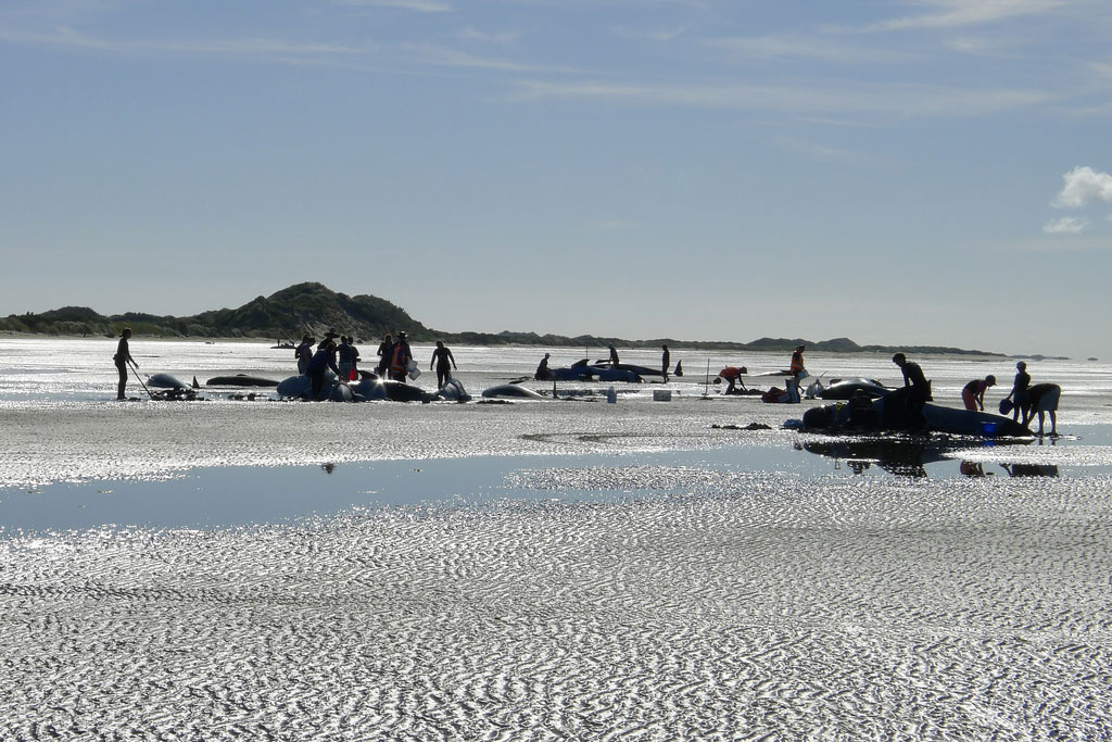 What makes this New Zealand beach a whale graveyard?