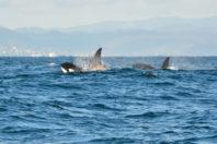 Orca pod filmed hunting whale calf in 'unprecedented' California killing spree