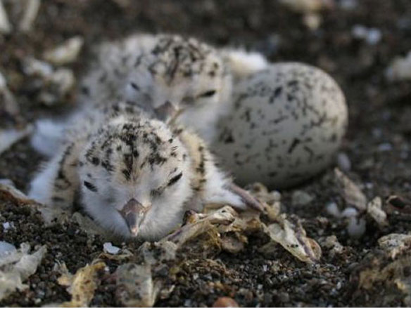 Threatened bird nesting again on Los Angeles area beaches