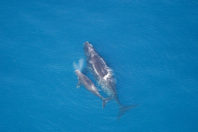 Already on Brink, Right Whales Are Pushed Closer to the Edge