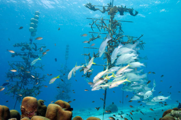 Beyond Preservation: The Coral Restoration Foundation Bonaire; By Andrew Jalbert