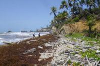 Mysterious masses of seaweed assault Caribbean islands