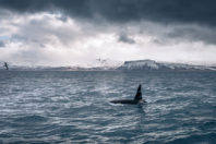 A mourning orca mother carried her dead baby for days through the ocean