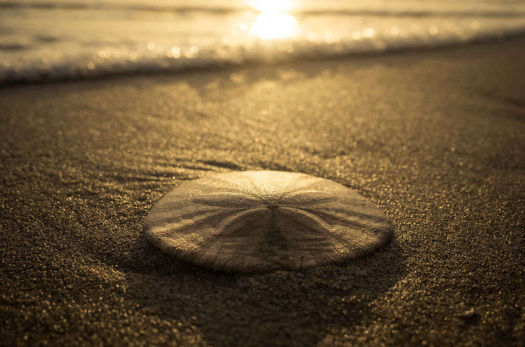 Dead or alive? 3 ways to spot the difference between a live sand dollar and souvenir