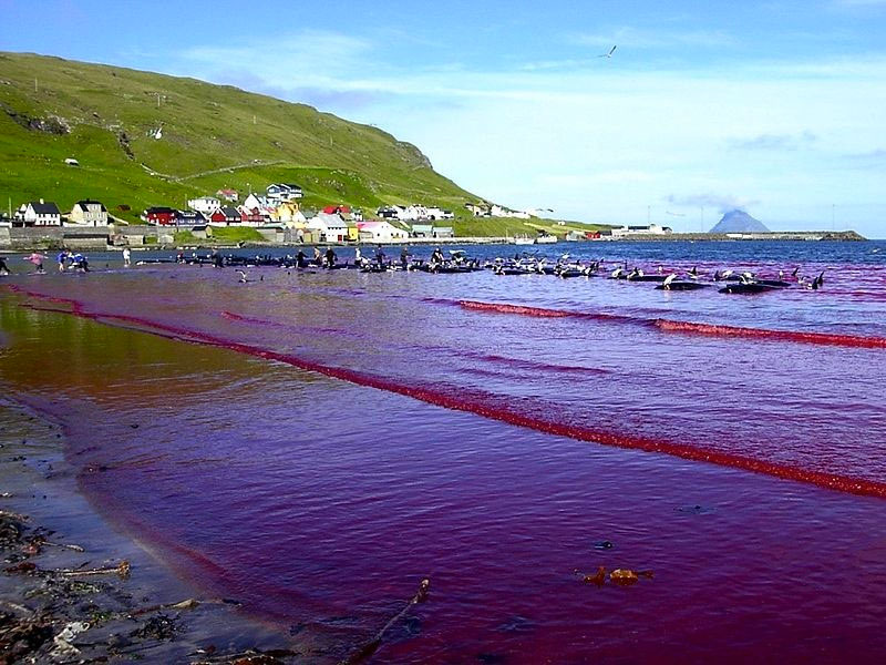 Sea turns red with blood after whale hunt in Faroe Islands