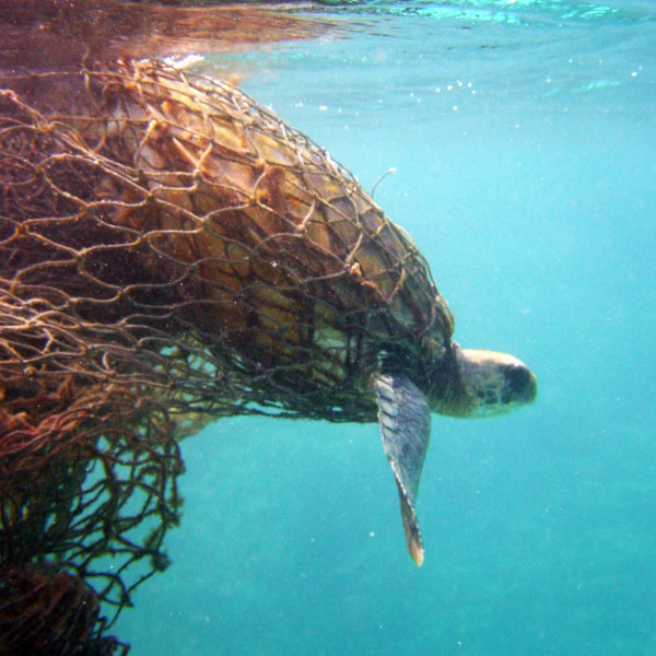 Ghost netting: Image emerges of decomposed turtle wrapped in plastic net