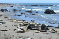Elephant seals take over beach left vacant by US shutdown