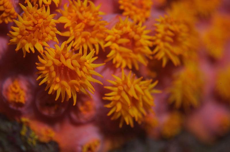 Sea anemones are ingesting plastic microfibers