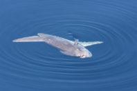 Giant sunfish washes up on Australian beach
