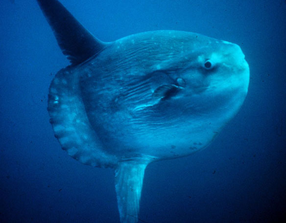 Huge sunfish washes up in northern waters for first time in 130 years