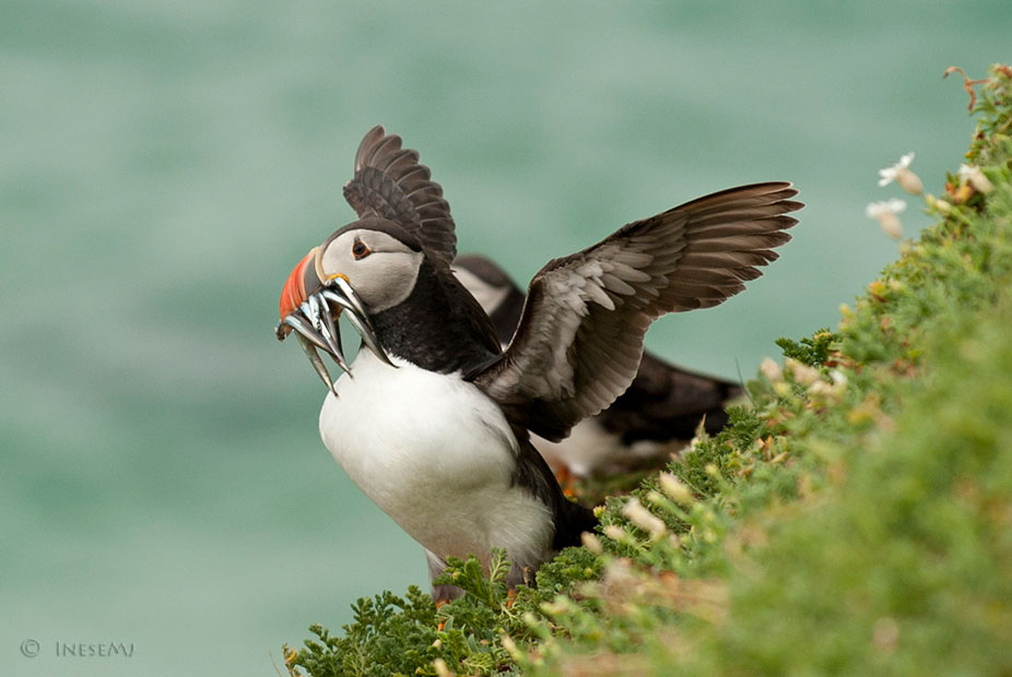 Mass die-off of puffins recorded in the Bering Sea